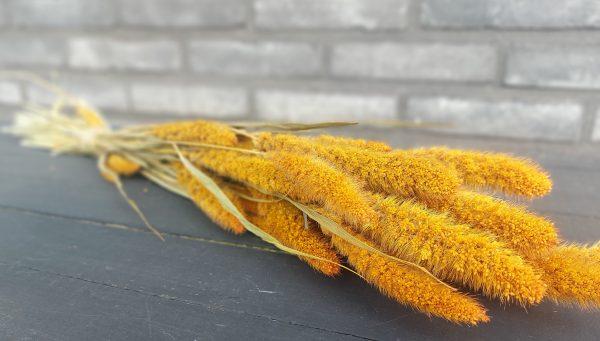 Droogbloemen Setaria (Gedroogde Naaldaar) - Oranje
