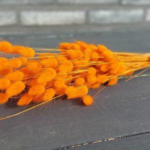 Droogbloemen Lagurus (Gedroogde Hazenstaart) - Oranje