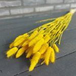 Droogbloemen Lagurus (Gedroogde Hazenstaart) - Geel