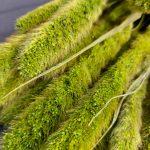 Droogbloemen Setaria (Gedroogde Naaldaar) - Groen