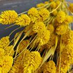 Droogbloemen Phalaris (Kanariegras) - Geel