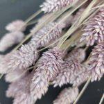 Droogbloemen Phalaris (Kanariegras) - Lila