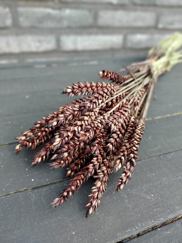 Droogbloemen Gedroogde Tarwe (Triticum) - Bruin