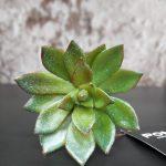 Pomax Kunstvetplant Echeveria